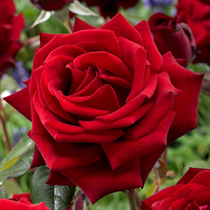 Not only do classic Mister Lincoln roses smell fantastic, they also have sturdy stems which work well in vase arrangements.