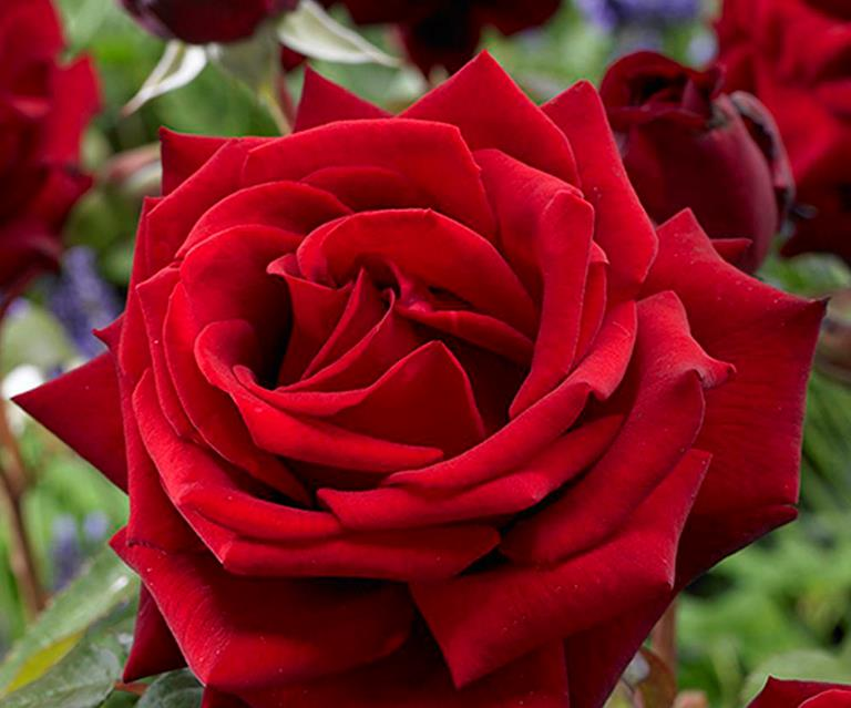 5 Of The Most Fragrant Rose Varieties Australian House And Garden