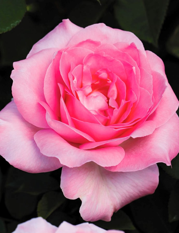 This multi-award-winning rose is not only beautiful, but strong and fragrant.