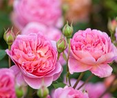 5 of the most fragrant rose varieties