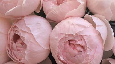 How to grow peonies that will be the envy of the street