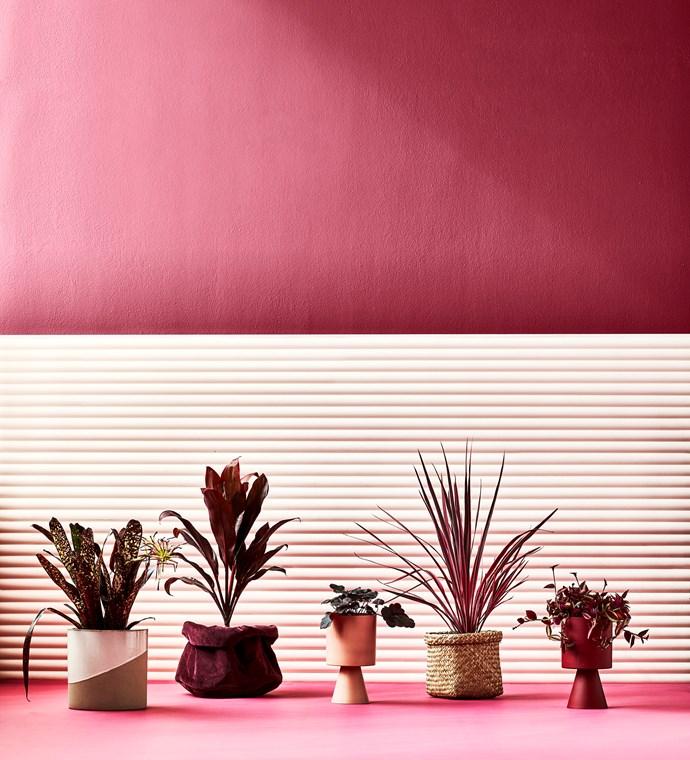 **From left:** Billbergia 'Hallelujah'; Cordyline fruticosa 'Rubra'; Heuchera 'Obsidian'; Cordyline banksia 'Electric pink'; Tradescantia zebrina'Silver inch plant'.