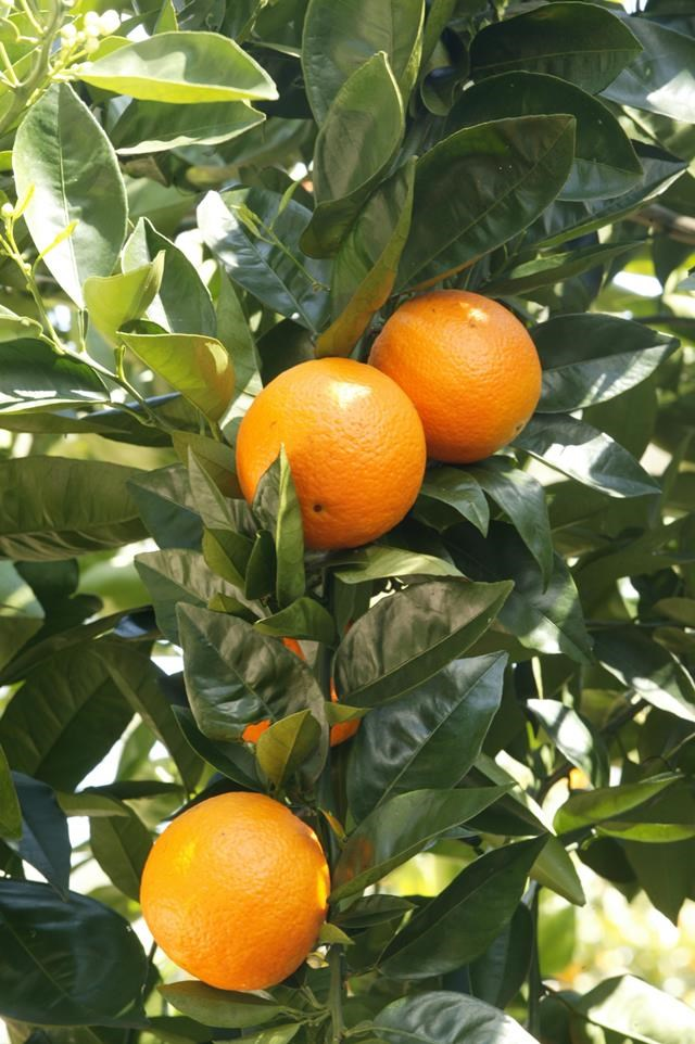 """Find out [how to deal with citrus pests >](https://www.homestolove.com.au/how-to-deal-with-citrus-pests-9568 target=""""_blank"""")"""
