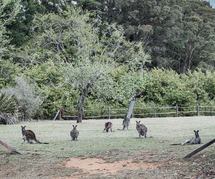 Kangaroos on the couple's property regularly perform their role as nature's lawnmowers.