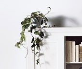 Trailing indoor plants: vines to drape over your bookshelf
