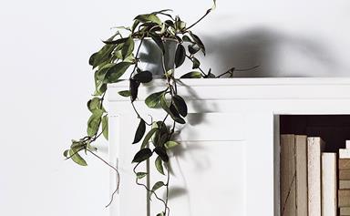 Trailing indoor plants: vines to drape over your bookshelf