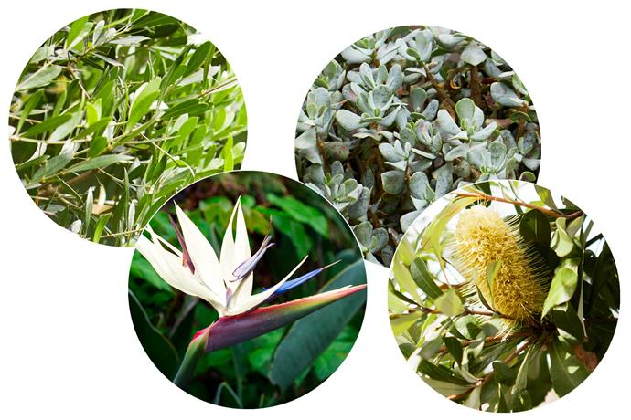 **Leaf story** A range of colours and textures create a lush palette. **Left to right**: *Olea europaea*, Olive. *Banksia integrifolia*, Coast banksia. *Crassula ovata*, 'Blue Bird'. *Strelitzia nicolai*, Giant bird of paradise. *Bird of paradise image courtesy of Alamy*.