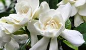 How to stop gardenias from turning yellow