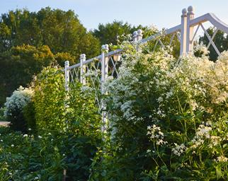 White flowers along fence