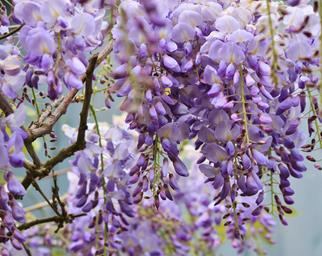 Closeup of purple wisteria