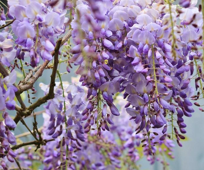 Closeup of purple wisteria