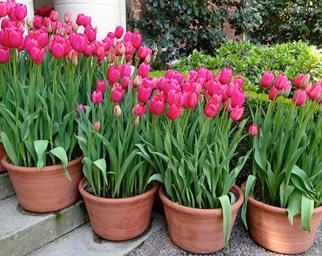 Pink Daffodils