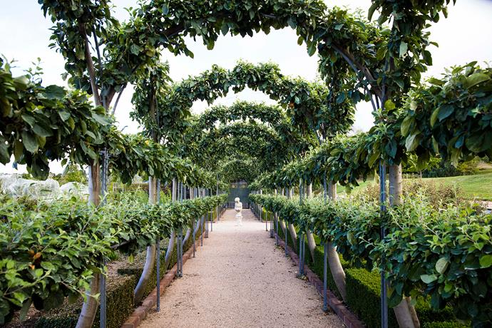 Espaliered 'Gravenstein' apple trees form a tunnel-shaped orchard.