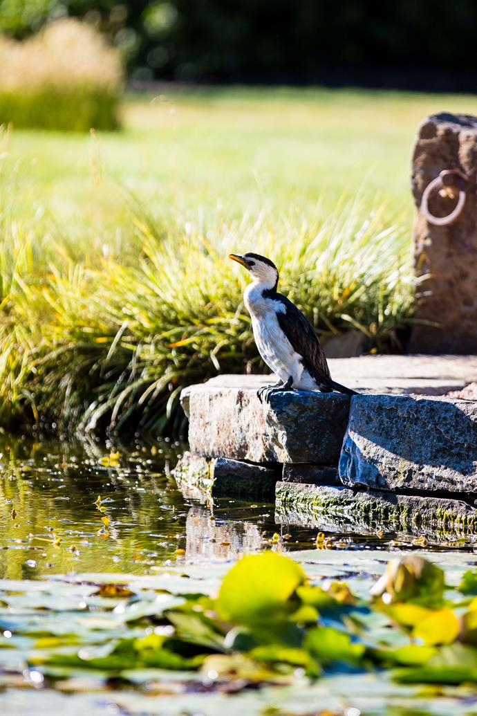 A pied cormorant pays a visit to the Water Garden.