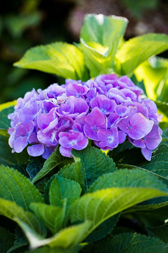 Hydrangea flowerhead.