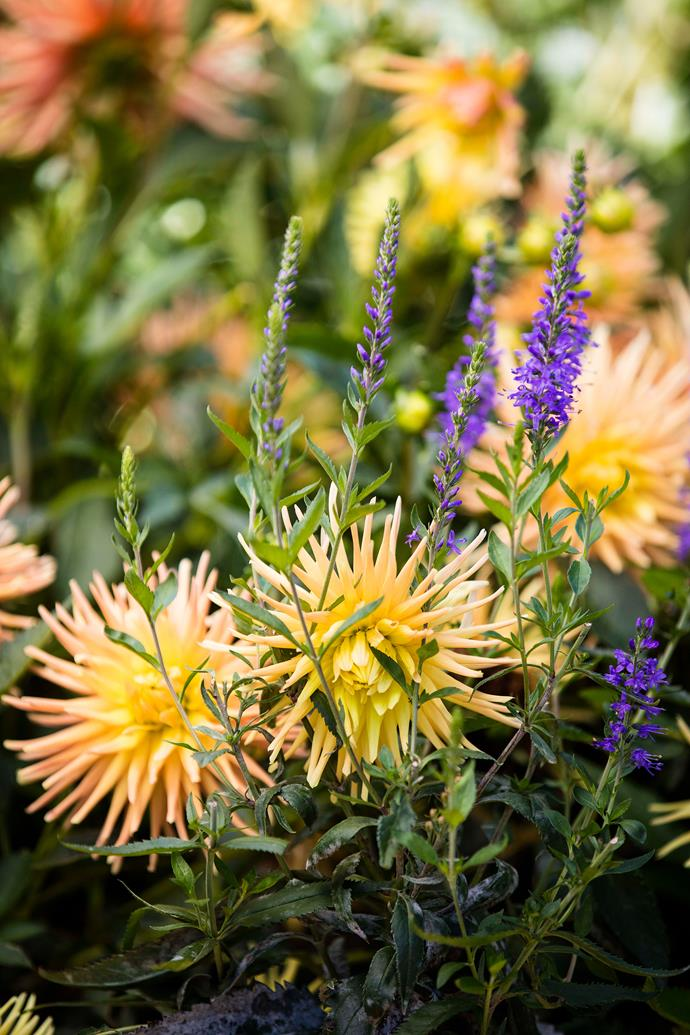 Dahlia and salvia plantings.