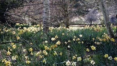How to grow daffodils