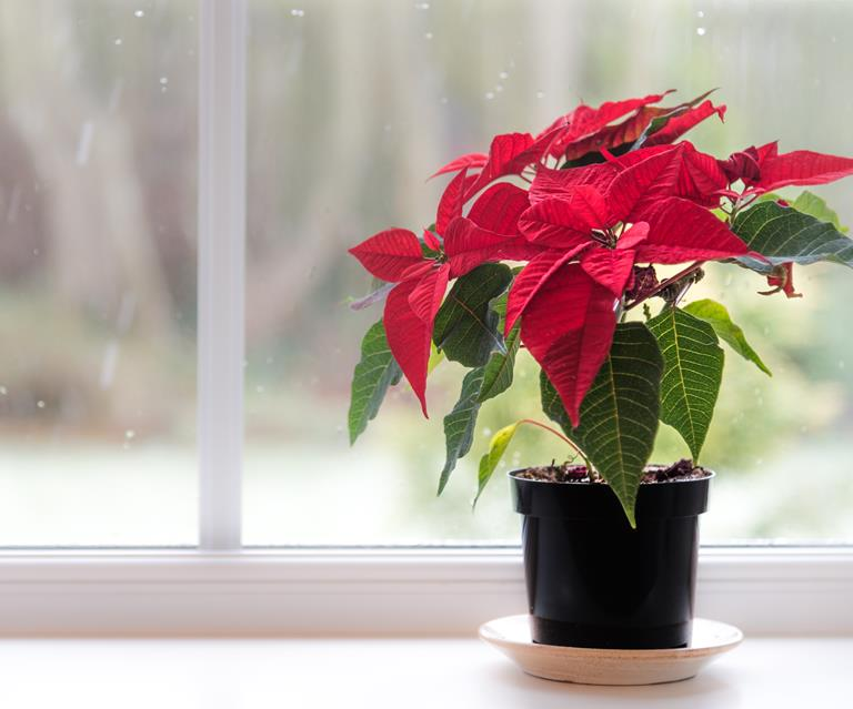 Plant Guide Poinsettias How To Grow And Care For Australian House And Garden