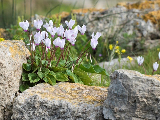 There are about 20 species of cyclamen. All are native to the Mediterranean area, east to Iran and south into Africa. Not all of the species are frost tolerant, but these three are tough, so make excellent outdoor garden plants.