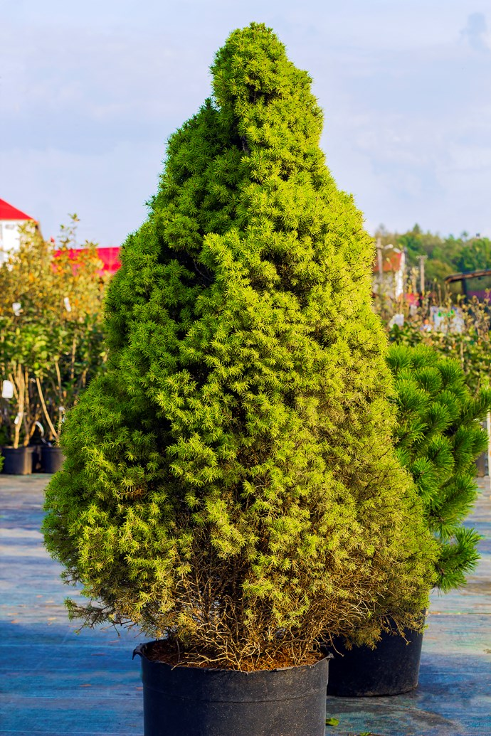 **Dwarf Alberta spruce** (*Picea glauca, 'Albertiana Conica'*): A handsome dwarf conifer which grows and lasts well in a pot. It has attractive grey-green foliage that tapers to a point at the top. Its lovely shape and small, compact habit suits a table or sideboard. Great for sprucing up an office space. *Photo: Getty Images*