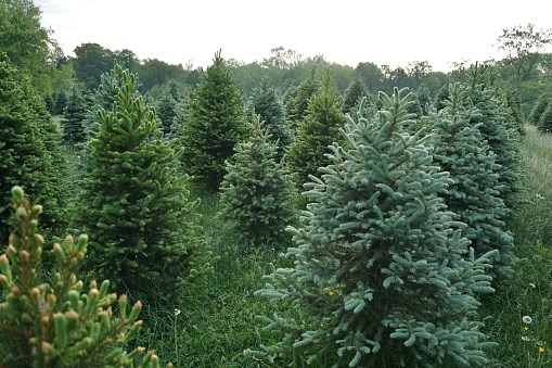 **Norway spruce **(*Picea abies*): Easy-going and fast-growing. It features rows of pine needles and stiff branches for hanging ornaments. Available in 20–30cm pots, these favourites also fit to budget as larger trees are usually more expensive. Re-pot each year into a larger pot so they grow for another four or more years, or plant in the garden. *Photo: Getty Images*