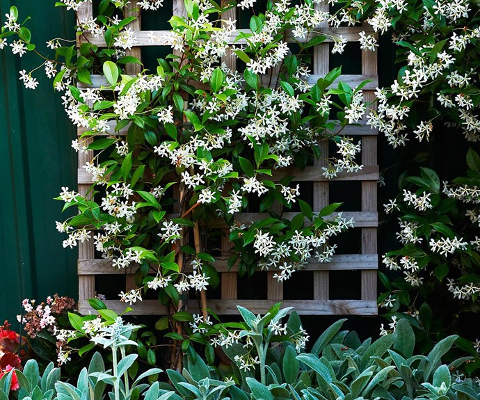 Star jasmine growing on a wooden trellis