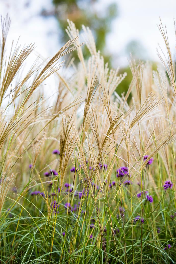 Silvergrass features fine foliage that changes in colour during autumn. *Photo: Claire Takacs*