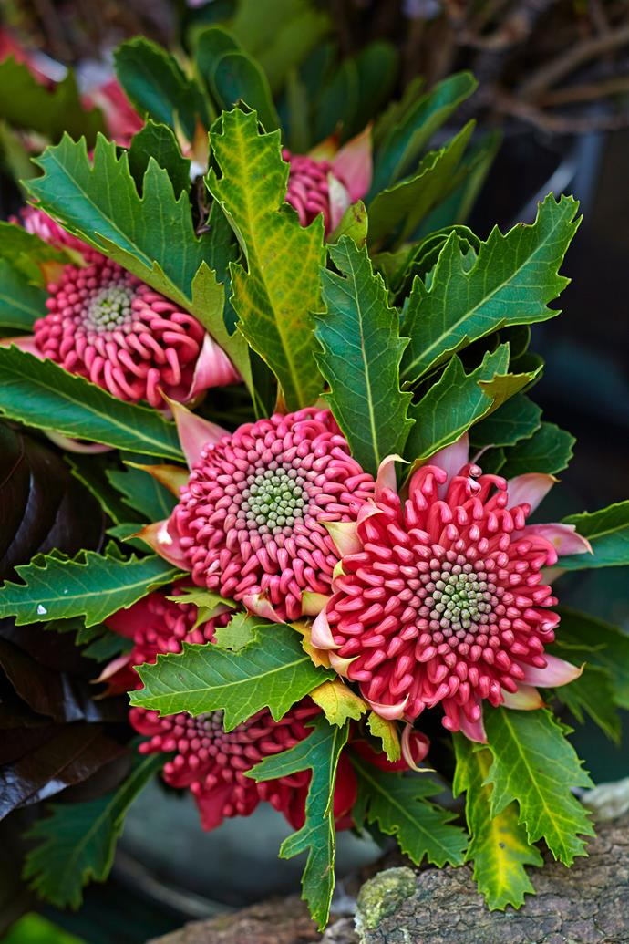 **Native blooms**: Deep red waratah blooms and against green foliage evokes the spirit of Christmas, albeit with an Aussie twist. *Photo: Scott Hawkins / bauersyndication*