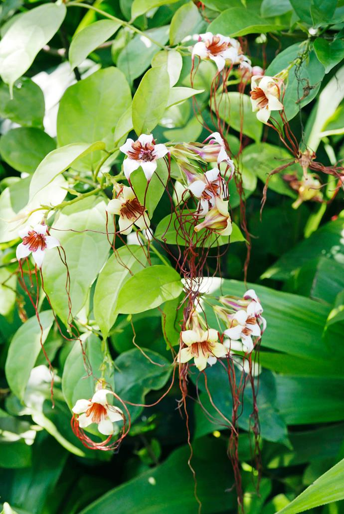 An evergeen liana, or 'spider tresses' (*Strophanthus preussii*).