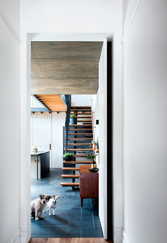 """Muffy (aka The McMuffin), a Jack Russell-silky terrier-cattle dog cross, and her sister April, a Chihuahua-fox terrier cross, peek out from behind a wall in their beautifully renovated single-fronted terrace in South Yarra. *Architecture: [Zen Architects ](http://www.zenarchitects.com/