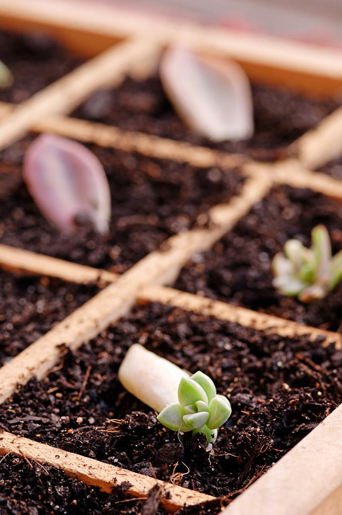 "[Propagating succulents](https://www.homestolove.com.au/how-to-grow-your-own-plants-from-cuttings-16850|target=""_blank"") is a good place for beginner gardeners to start. *Photo: Susan Stubbs / bauersyndication.com.au*"