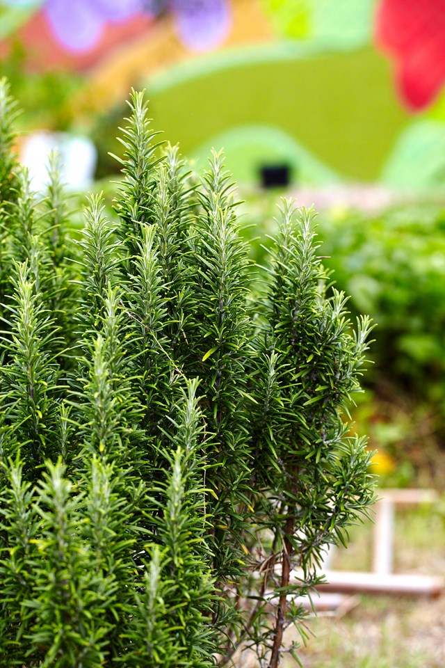 "**Rosemary**<br> This herb adds a rustic charm paired with wildflowers or cottage style blooms, such as hyacinths, roses and sweet peas. Create a garden setting at your reception by potting [rosemary](https://www.homestolove.com.au/grow-rosemary-from-cuttings-2216|target=""_blank"") in rustic wooden crates or little glass jars or use simple sprigs to dress your table setting."