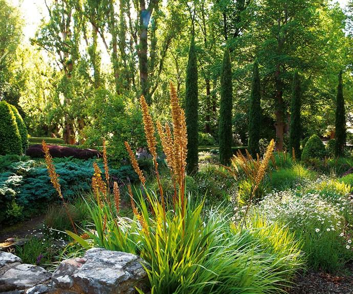 *Wachendorfia* in the garden. | *Photography: Simon Griffiths*