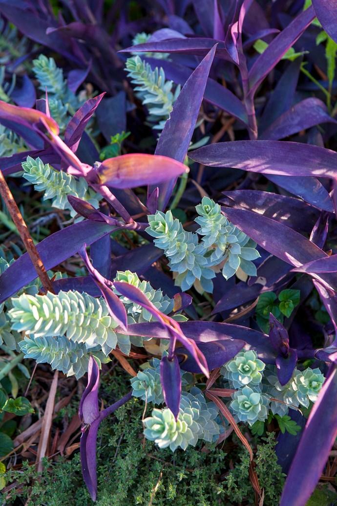 Intertwined branches of purple *Tradescantia pallida* 'Purpurea' and *Euphorbia myrsinites*.