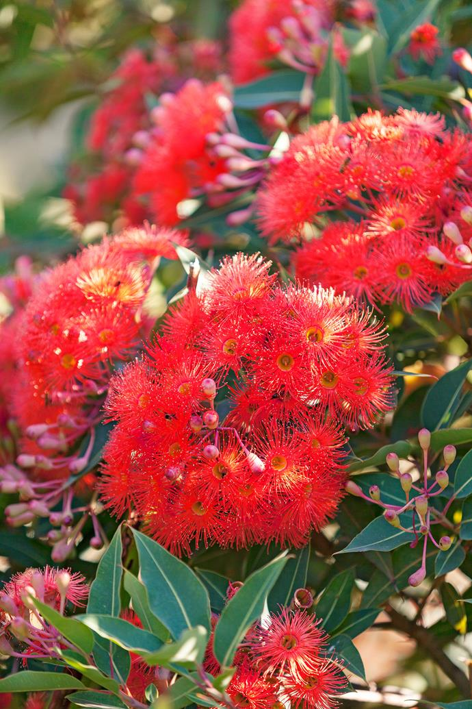 Dwarf flowering gum (*Corymbia ficifolia* 'Baby Orange') forms vibrant clusters in the garden.