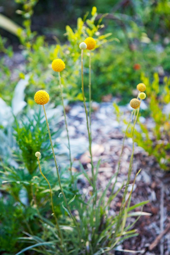 Golden ball-shaped blooms of *Craspedia globosa* (billy buttons).