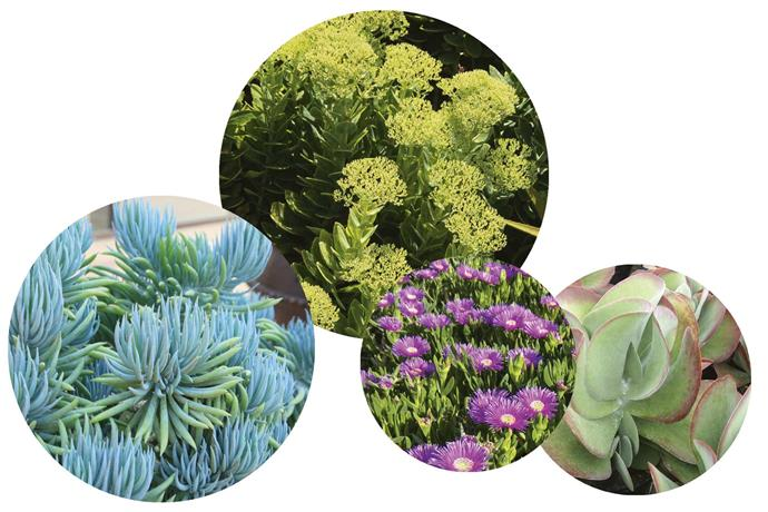 "**Top plant picks** Hardy succulents thrive on neglect, while adding a variety of shapes, colours and textures. **Get the look** (left to right) *Senecio serpens* Blue chalk sticks. *Sedum spectabile* 'Autumn Joy'. *Delosperma cooperi* 'Pink Carpet'. *Kalanchoe tetraphylla* Flapjacks/paddle plant.<br><br>*See more of Julian's work at [Ballast Landscape](http://ballastlandscape.com.au/|target=""_blank""