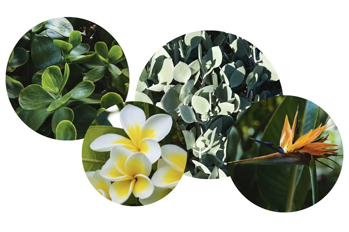 """**Plant palette** Working with a combination of existing plants and new tropical plantings has resulted in a wonderful family garden. **Get the look** (left to right) Paddle plant (*Cotyledon orbiculata var. oblonga* 'Macrantha'). Frangipani (*Plumeria rubra var. acutifolia*). Silver teaspoons (*Kalanchoe hildebrandtii*). Bird of paradise (*Strelitzia reginae*).<br><br>*See more of Michael's work at [Michael Cooke](https://www.michaelcooke.com.au/