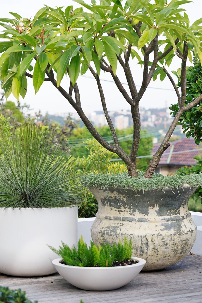 A variously sized group of pots containing (from left) century plant (Agave geminiflora), foxtail fern (Asparagus densiflorus 'Myersii') and a yellow frangipani (Plumeria acutifolia) underplanted with Dichondra 'Silver Falls'.