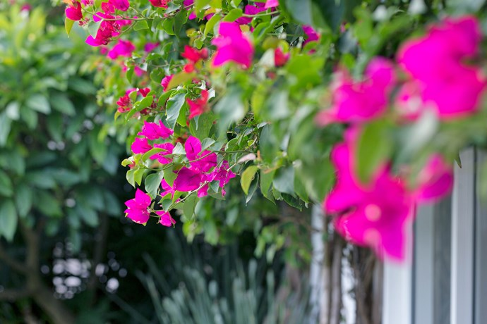 Bright pink Bougainvillea 'Scarlet O'Hara' was part of the original garden. Lyndall and her team restored it back to its former glory.