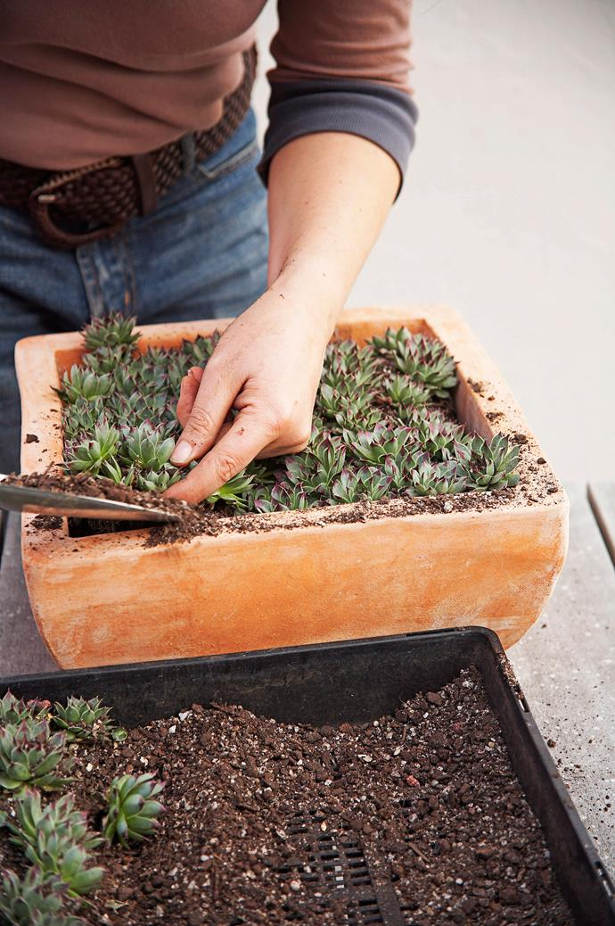 Ensure that the roots of the plants are well covered. *Photo: Richard Birch / bauersyndication.com.au*