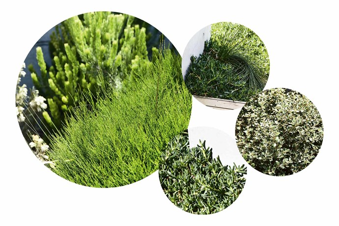 """**How to create this beachy look** Choose a variety of native shrubs and grasses to add colour and texture. **Plant picks** (clockwise left to right) *Cuasarina glauca* 'Green Wave' wamp oak. *Ficina nodosa* 'Club Rush'. *Correa alba* 'Andrews' var. alba. *Carpobrotus rossii 'Pig Face' succulent.<br><br>*To see more of Brett's work, go to [Acre ](http://acre.com.au/
