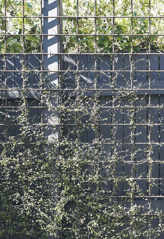 **Privacy screen** Maidenhair vine (*Muehlenbeckia complexa*) is being trained to grow up the fence, supported by reinforcing mesh.