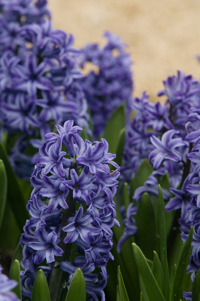 <p>**Hyacinths**<p>  <p>Blue hyacinths represent sincerity and loyalty. The flower's name stems from the ancient Greek tale of Apollo transforming his lover Hyacinth into a flower that could remain by his side.<p> <p>*Photo: Brent Wilson / bauersyndication.com.au*<p>