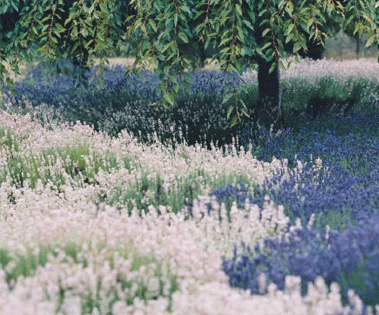 How To Prune Lavender Homes To Love