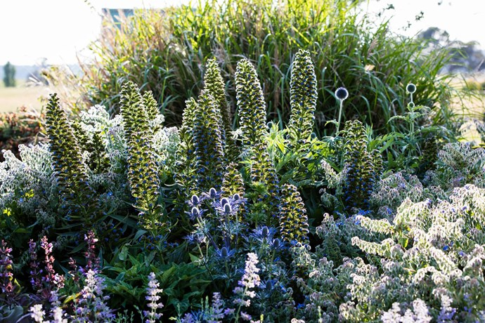 Perry has composed a symphony of purple and mauve in this pocket of the garden, which includes the tall purple spires of Pride of Madeira (Echium candicans) with sea holly (Eryngium x zabelii), globe thistle (Echinops ritro 'Veitch's Blue') and borage (Borago officinalis).
