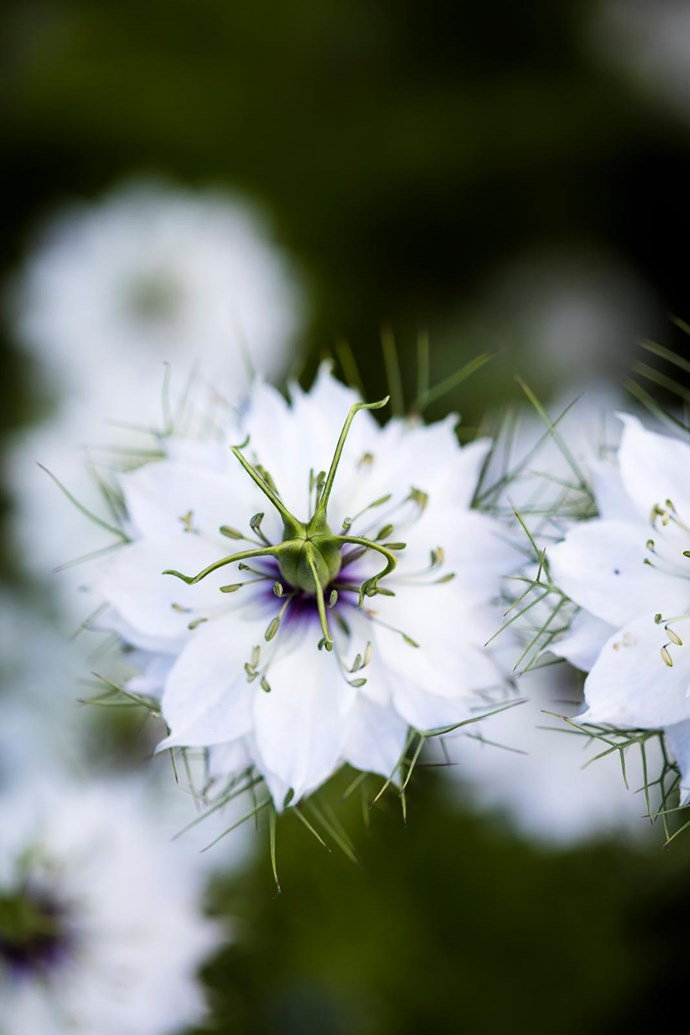 A white love-in-a-mist (Nigella damascena) flower.