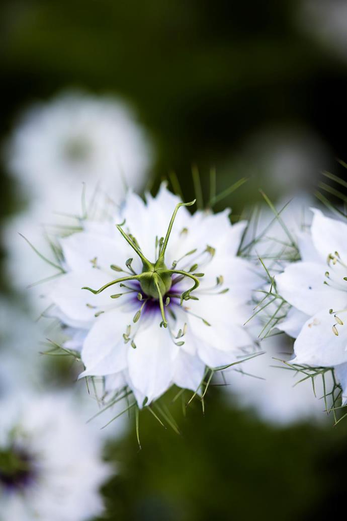 A white love-in-a-mist (Nigella damascena) flower.