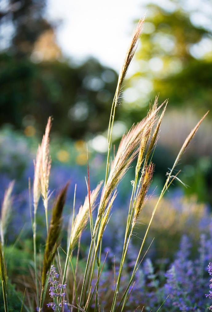 Rough spear grass (Austrostipa scabra).
