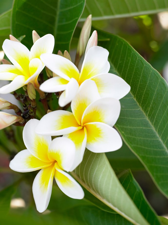 "**Frangipani**<P> <p>[Frangipani trees](https://www.homestolove.com.au/how-to-grow-a-frangipani-tree-from-a-cutting-5777|target=""_blank"") flower from December to April, and thrive in well-drained soil, plenty of sun and frost-free conditions. They love growing by the beach in sandy soils and are one of the best trees for tolerating salty air along the coast. <P> <p>*Photo: Andre Martin / bauersyndication.com.au*<P>"